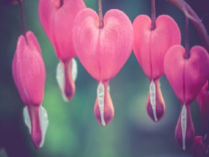 Pink bleeding heart flower, close up photo, vintage background.